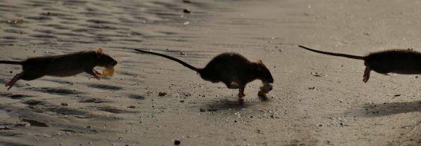 Rat control doncaster