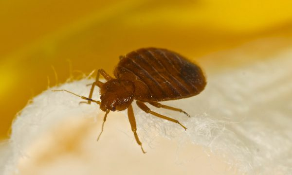 bed bug control in Doncaster