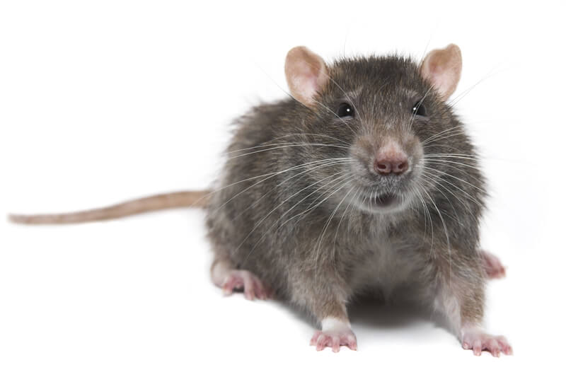Rodent control Doncaster