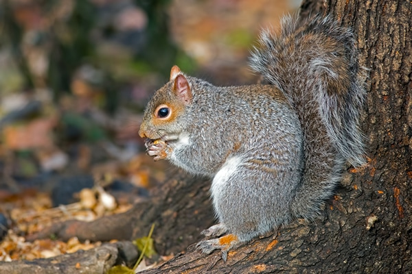 Grey squirrel control Doncaster