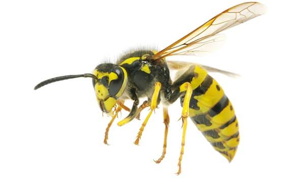 Wasp nest Doncaster