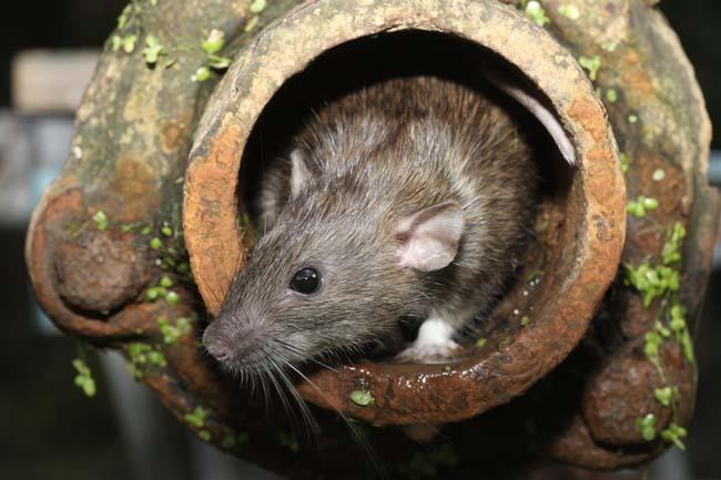 rat control near me