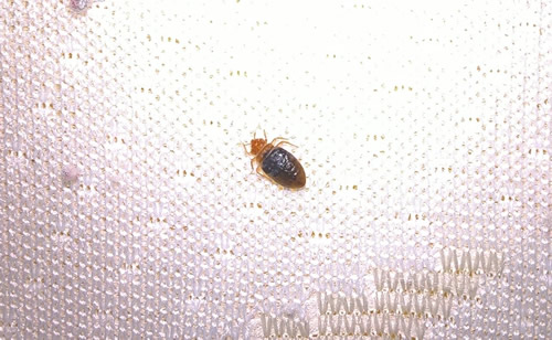 Do I have bed bugs?