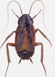 What are the signs of a Cockroach infestation?