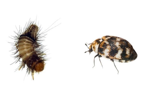 Carpet beetle control Doncaster