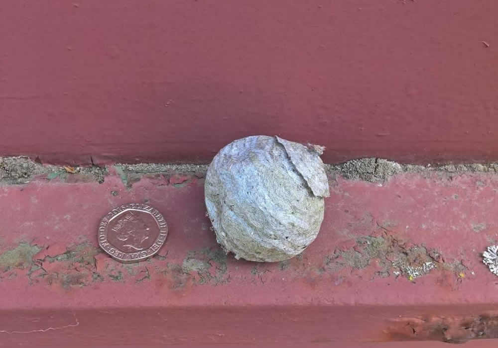 Initial queen wasp nest