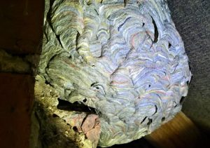 Wasp nest in loft