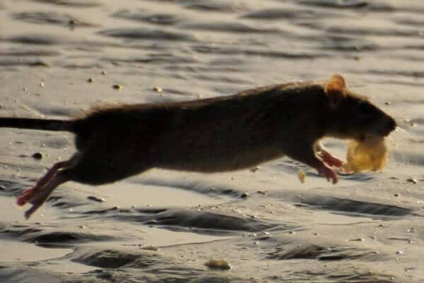 rat infestations and doncaster floods